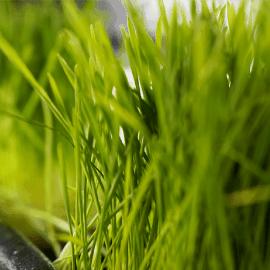 edensong-wheatgrass
